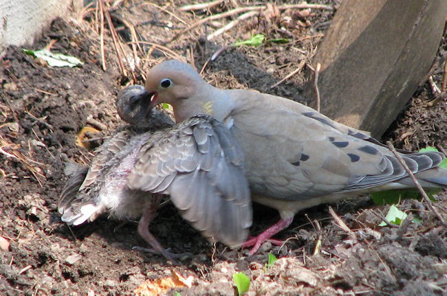 Mourning dove and chick backyard